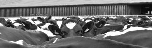 Black and white photo of cows